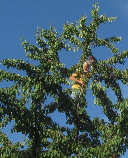 Kirschen ernten am 8.2.2012