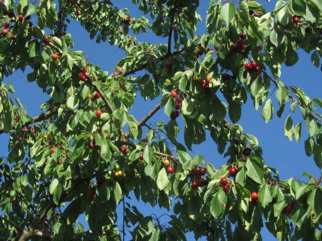 Kirschen am 8.6.2012: rot, grün und blau