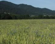 Kornblumen am 24.6.2012 - Blick übers Weizenfeld nach Littenweiler