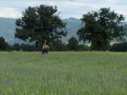 Kornblumen am 10.6.2012: Blick zum Wangler-Kreuz