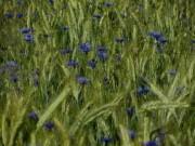 Kornblumen am 24.6.2012 im Weizen