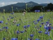 Kornblumen am 10.6.2012: Blick druch Blüten zum Hinterwaldkopf
