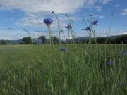 Kornblumen am 10.6.2012: Blaue Blüten - blauer Himmel