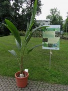 Kokospalme als nachwachsender Rohstoff