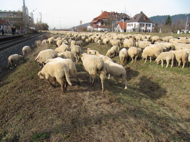 Blick nach Westen am 4.2.2012 - Schafe auf Wiese auf dem Tunneldeckel der B31
