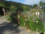 Sonnenblumen und Cosmea am 9.7.2012