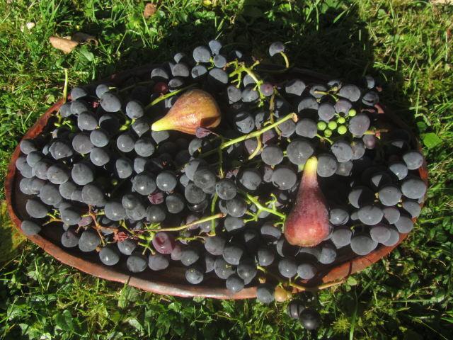 Gartenmauer am 19.10.2012 - Rote Trauben und zwei feigen