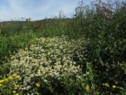 Wiese auf B31-Wall Littenweiler am 24.6.2012 - Disteln udn Kamille