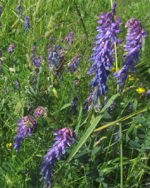 Wiesenblumen am 15.6.2012 - Wicken