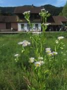 Wiesenblumen am 15.6.2012