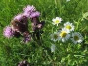Wiesenblumen am 15.6.2012 - Distel und wilde Kamille