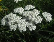 Wiesenblumen am 15.6.2012 - Schafgarbe