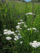 Wiesenblumen am 15.6.2012 - Schafgarbe weiss
