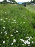 Wiesenblumen am 15.6.2012 - die Wiese wird leider gemaeht