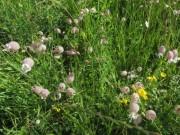 Wiesenblumen am 15.6.2012 - Leimkraut