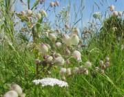 Wiesenblumen am 15.6.2012 - Leimkraut wächst in den Himmel