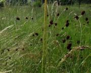 Wiesenblumen am 15.6.2012 - Blutstroepfchen im hohen Gras