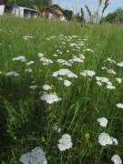 Wiesenblumen am 15.6.2012: Schafgarbe weiss