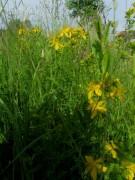 Wiesenblumen am 15.6.2012: gelbe Zypressen-Wolfsmilch
