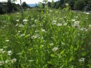 Wiesenblumen am 15.6.2012: Wildkamille