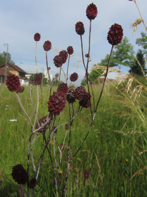 Wiesenblumen am 15.6.2012 - Blutstroepfchen