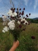 Kruettweg westlich von Zarten am 24.6.2012 - Blumenstrauss mit Blutstroepfchen
