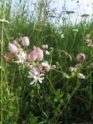 Wiesenblumen am 15.6.2012 - Taubenkropf bzw. Leimkraut