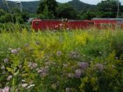 Labkraut am 28.6.2012 - Hoellentalbahn