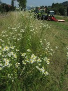 Wiesenblumen mähen am 29.6.2012