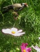 Stieglitz am 8.8.2012 - geliebter Cosmeasamen