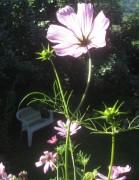 Cosmea am 28.7.2012 - eine Blüte