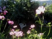 Cosmea am 28.7.2012 - in der prallen Sonne