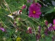 Cosmea am 28.7.2012 - im Blütenmeer ist der Stieglitz gut getarnt