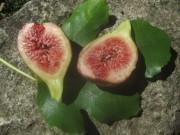 feige-frucht140920