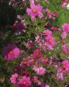 Cosmea am 23.10.2012 - lila im Herbst