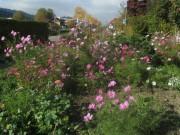 Cosmea am 23.10.2012 noch immer in voller Blüte
