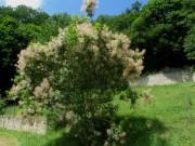 Kartaus 22.7.2012: (25) Perückenbaum im Garten hinter der Kartaus