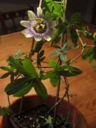 Passionsblume blüht am 17.7.2012