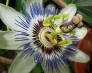 Passionsblume blüht am 17.7.2012 - noch näher