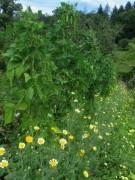 Kartausgarten 4.8.2012 - Bohnen ud Blumen