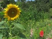 Kartausgarten 4.8.2012 - Blumen, Bohnen und Äpfel