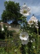 Kartausgarten 4.8.2012 - Weiße Malven vor altem Klostergemäuer