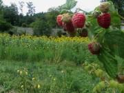 Kartausgarten 4.8.2012 - Beeren und Blumen