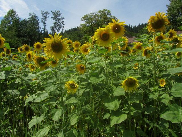 Kartausgarten 4.8.2012 - Sonnenblumen ganz nah