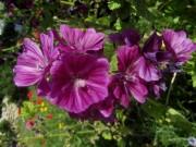 malve-violett140617