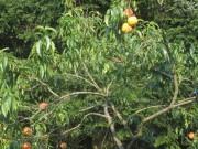 pfirsiche1baum150815