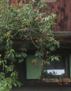 Pfirsich an der Rainhofmühle am 6.8.2012