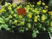 markt11schluesselblumen140410