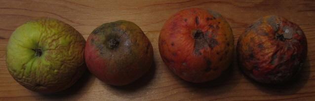 Bio-Äpfel Anfang Dezember 2012: Krumpelig, ungespritzt, gut gelagert, schmackhaft