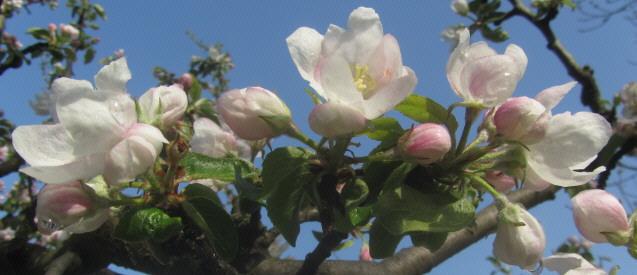 Apfelblüte am 1.Mai 2013 in Freiburg